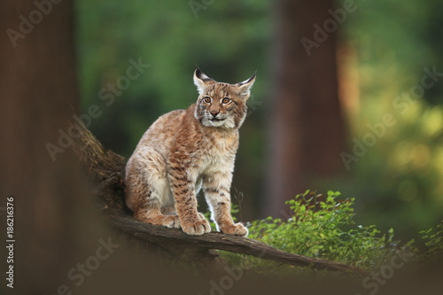 Foto auf Leinwand Luchs The wild nature of Europe. Beautiful nature of Czech. Photo was taken in the Czech Republic. Occurrence is in the whole of Europe.
