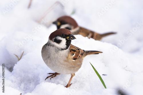 Fotografía rare Eurasian tree sparrow Passer montanus