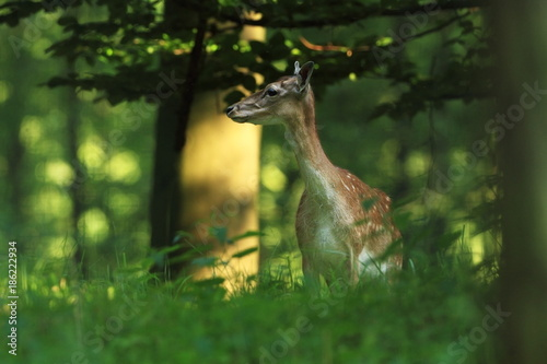 Photo  Fallow deer spotted