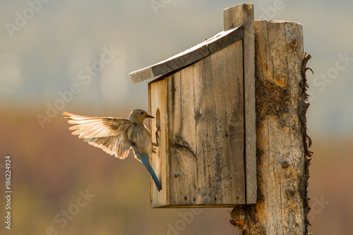 Vászonkép A Mountain Bluebird Gets the Nest Ready for the Young Ones