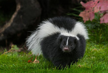 Striped Skunk (Mephitis Mephit...