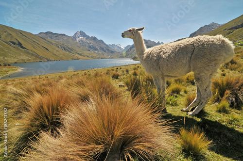 In de dag Lama Lama na tle peruwiańskich Andów