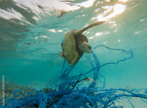Tuinposter Schildpad Green Sea turtle entangles on a discarded fishing net