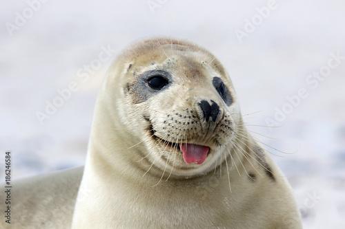 Junge Robbe mit rausgestreckter Zunge