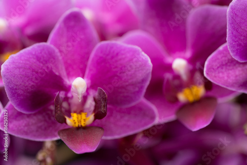 purple mini orchid on a black background