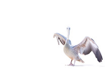 Pelican On A White Background