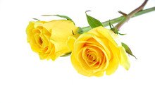 Yellow Rose Isolated On The Wh...