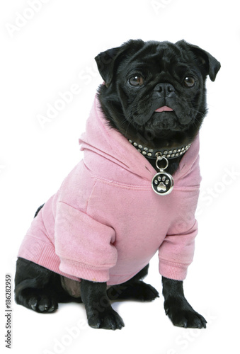 Small black pug puppy dog in pink clothes isolated on white background Poster