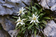 canvas print picture - Edelweiss