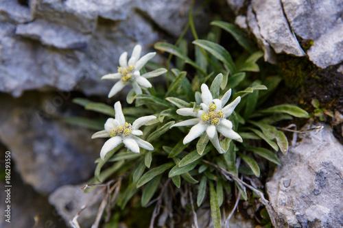Edelweiss Fototapete