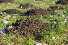 Fresh Molehills Dirt Pile Clos...