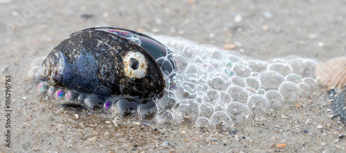 Miesmuschel mit Seepocke
