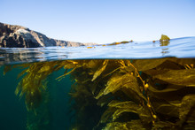 Kelp Forest Beauty Of Anacapa ...