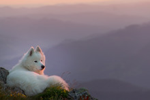 Beautiful White Samoyed Dog St...