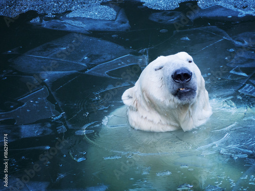 Tuinposter Ijsbeer Portrait of an unhappy polar bear from the water. Not nice thin ice.