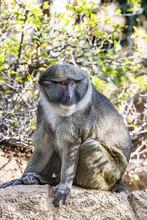 Allen Swamp Monkey On Rock.