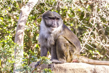 Allen Swamp Monkey On Rock