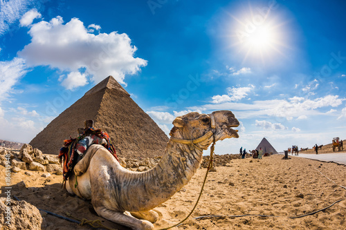 In de dag Kameel Camel in the Egyptian desert with the pyramids of Giza in the background