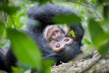 Chimpanzee / Schimpanse - Uganda