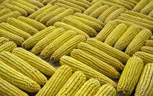 Display Of   Golden Corn Cobbs