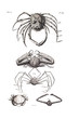 Illustration of a crab