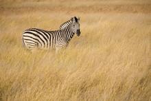 Portrait Of A Zebra In The Tall Dried Winter Grasses Of The Okavango Delta, Botswana, Africa