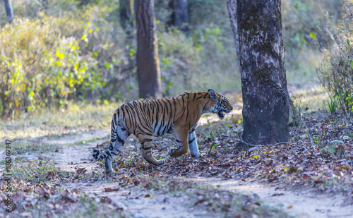 Bengal Tiger, ( Panthera tigris ), walking to right with mouth open showing teeth Wallpaper Mural