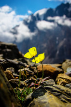 Yellow Flower On The Rocks In ...