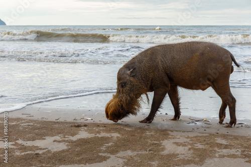 Deurstickers Asia land bearded pig walking along the beach
