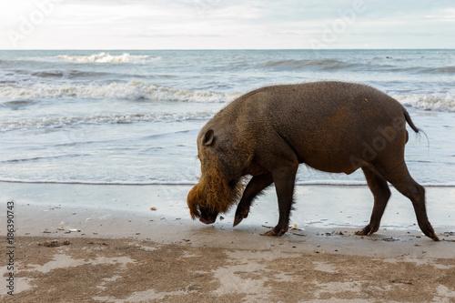 Deurstickers Asia land bearded pig walking along the beach.