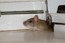 Black Rat (Rattus Rattus). Cru...