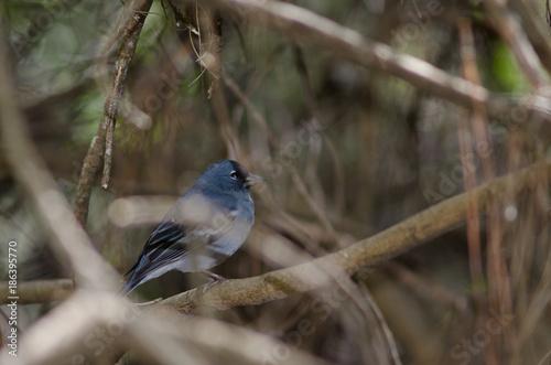 Deurstickers Canarische Eilanden Gran Canaria blue chaffinch (Fringilla polatzeki). Adult male. The Nublo Rural Park. Tejeda. Gran Canaria. Canary Islands. Spain.