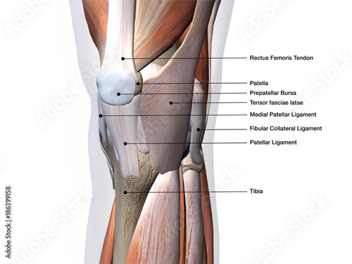 Knee Joint Muscles and Ligaments Labeled on White Wallpaper Mural