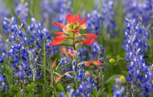 Wildflowers Along Wildflower Trails, Northeast Texas Highways.