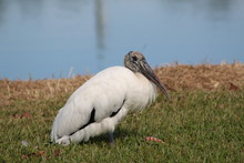 Wood Stork Side Pose With Lake...