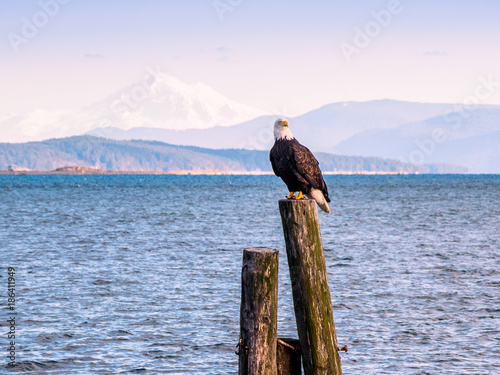 Bald Eagle on piles at the shore. Sidney, BC, Vancouver Island, Canada