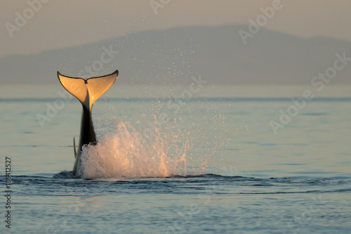 Orca Tail Water Splash at Sunset