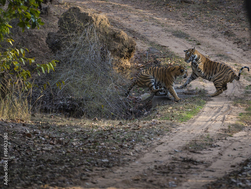 Photo  Bengal Tiger brothers play fighting in Bandhavgarh forest with evening sunset, I