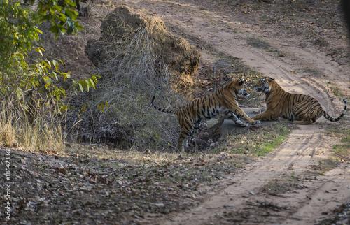 Photo  Bengal Tigers, ( Panthera tigris ), play fighting, Bandhavgarh National Park, In