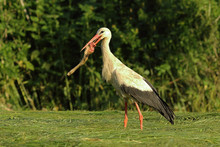 Hungry White Stork Trying To E...
