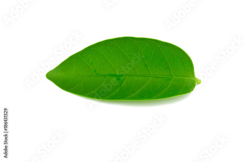 A beautiful lush green leaf. Isolated on white background