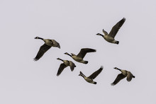 Greater Canada Geese