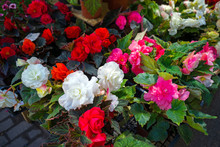 White, Red And Pink Begonia Fl...