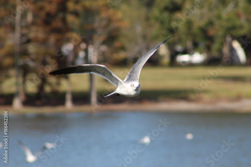 Fotobehang Seagull in flight over a lake