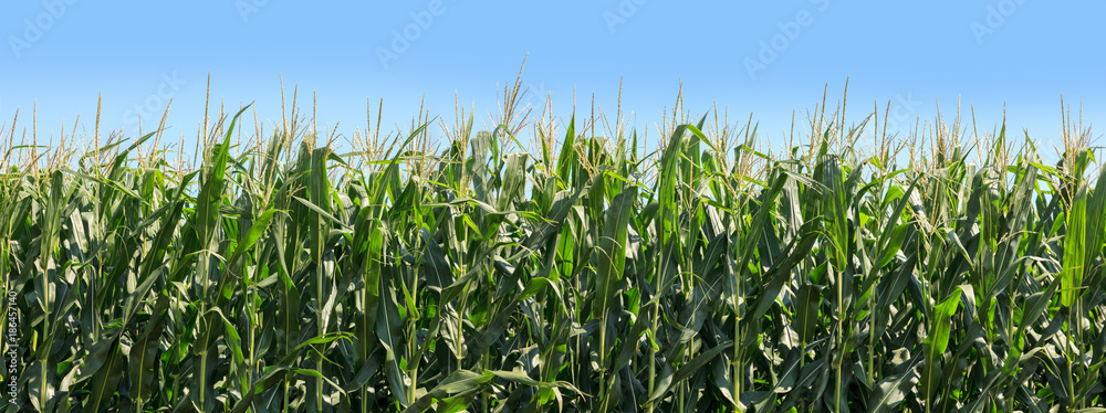 Fototapety, obrazy: Panoramic of corn growing on farmland. Blue sky in the background.