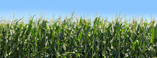Panoramic Of Corn Growing On F...