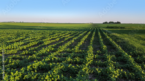 Soybean crop growing in a rural farmland