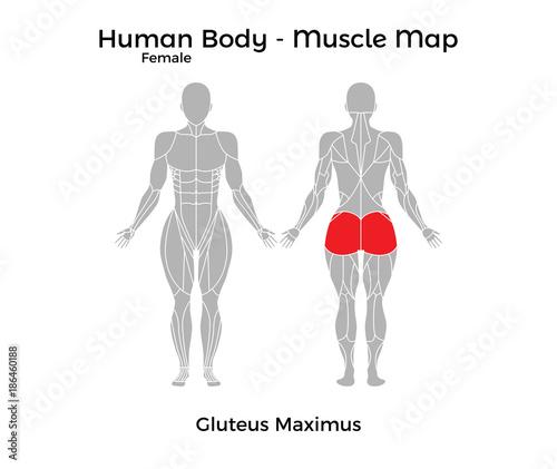 Fototapeta Female Human Body - Muscle map, Gluteus Maximus. Vector Illustration - EPS10. obraz na płótnie