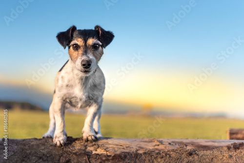 Fotografie, Obraz  Tricolor Jack Russell Terrier dog - hair style broken - cute little doggy sits o