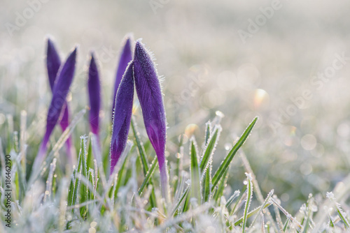 Frozen crocus flower close-up
